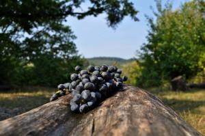 Strapce tmavého hrozna, s kvapkami vody na bobuliach, položené na ošúpanom kmeni. V pozadí vinice a stromy.